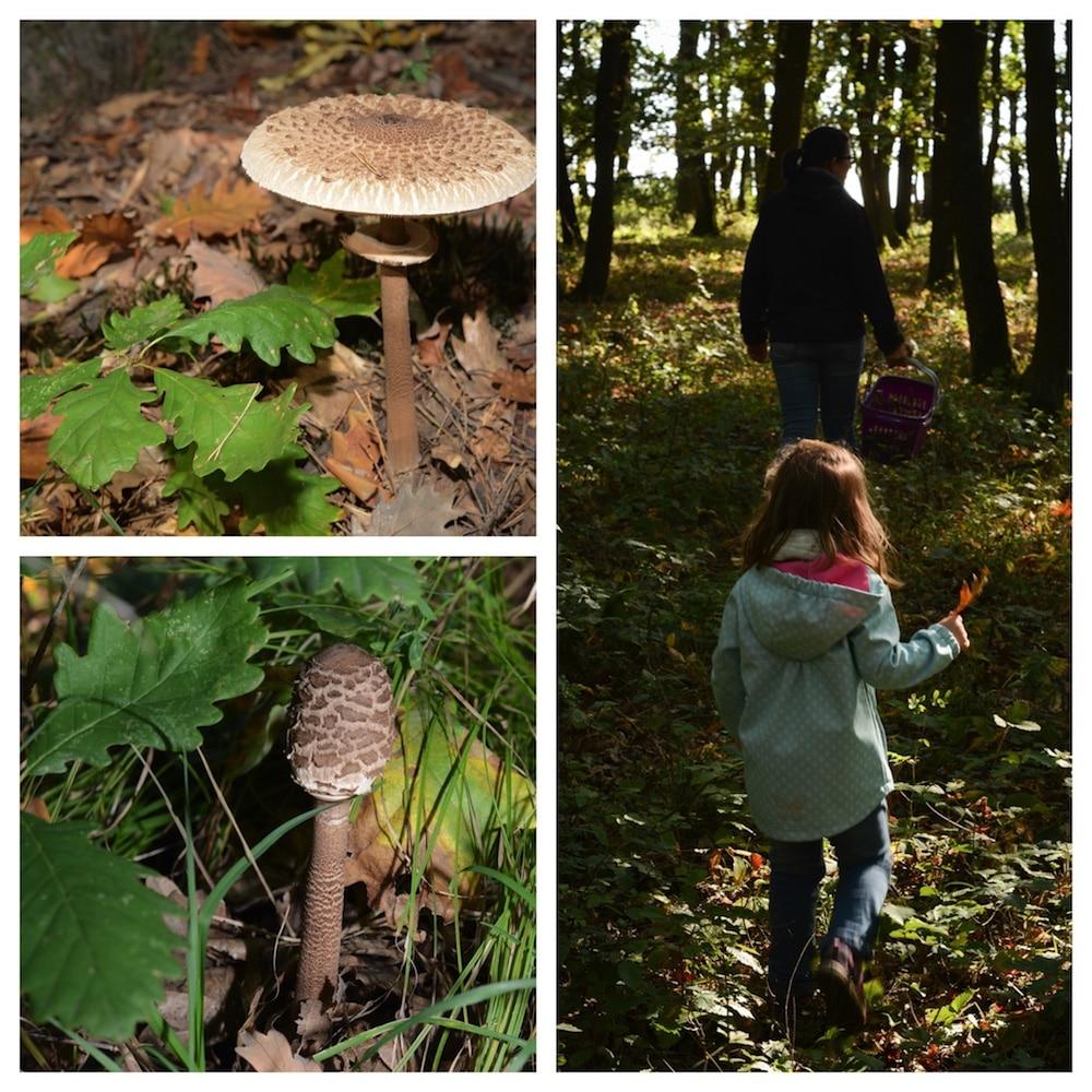 Parasol finden, erkennen und genießen - lecker durch die Pilzsaison - parasol erkennen 15 - 5