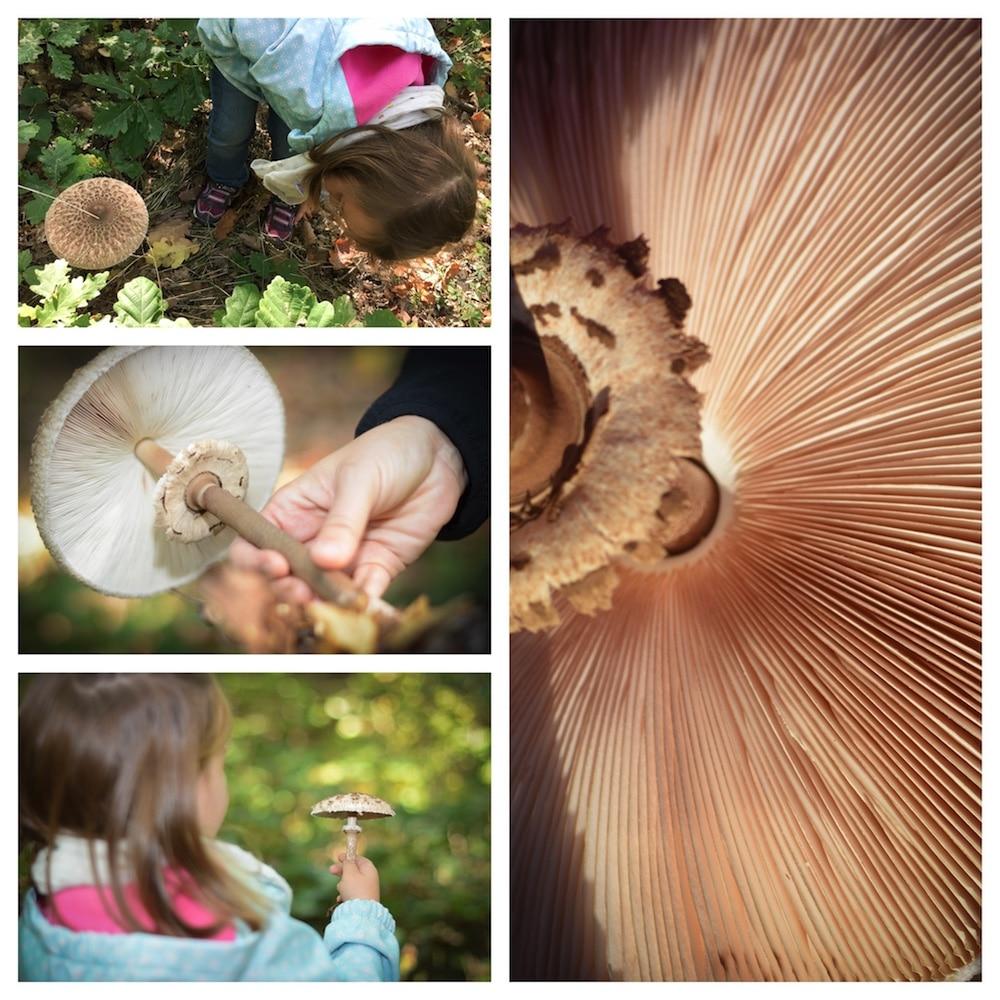 Parasol finden, erkennen und genießen - lecker durch die Pilzsaison - parasol sammeln - 3