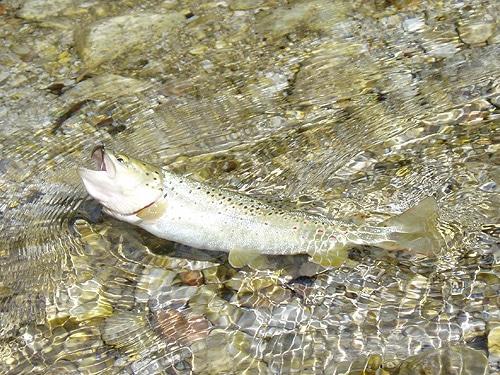 Torrener Ache Forelle fischen