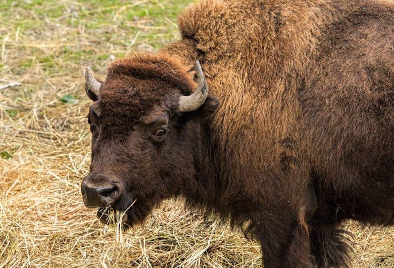 Rinderrassen im Überblick: Bison Rind