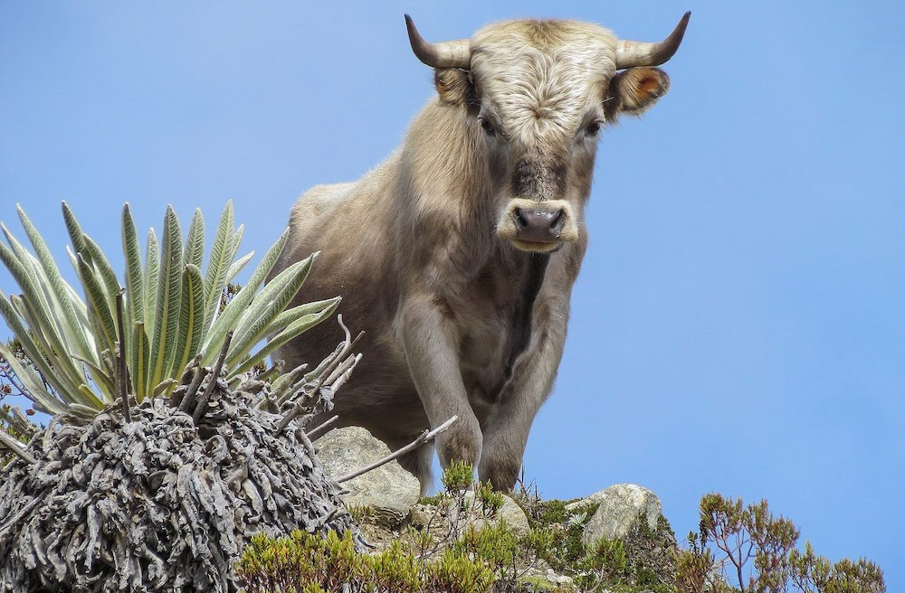 Rinderrassen im Überblick: French Charolais