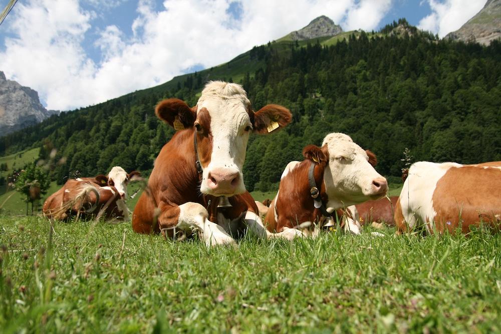 Rinderrassen im Überblick: Simmentaler Rind
