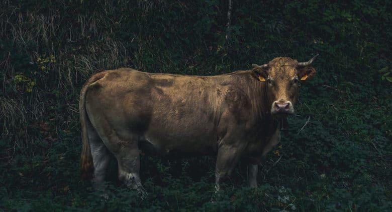 Rinderrassen  - Alles was du über die wichtigsten Fleischrassen wissen solltest - txogitxu - 24