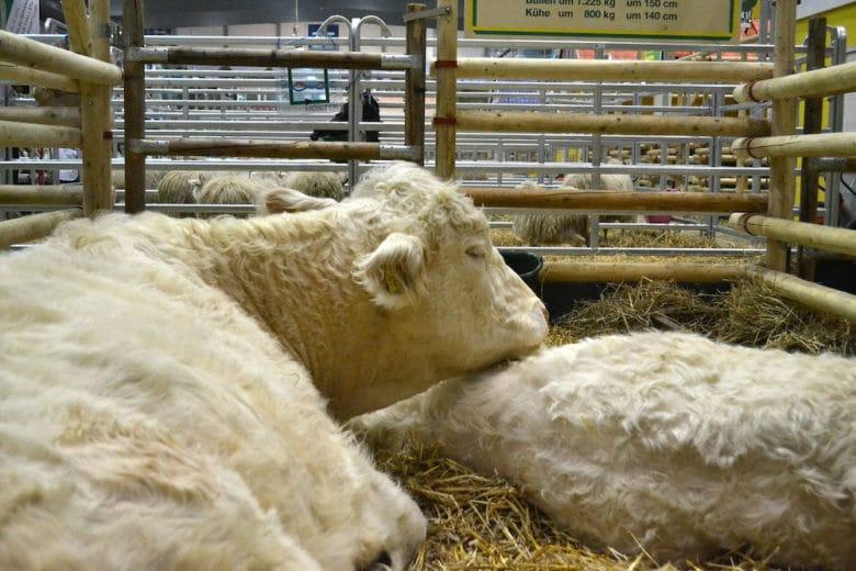 Rinderrassen im Überblick: Uckermärker