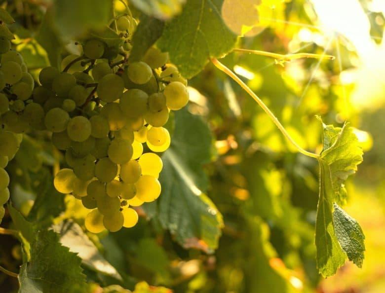 Weintrauben - ein traumhafter Blick im Weingarten