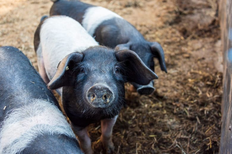 Schweinerasse Angeler Sattelschwein