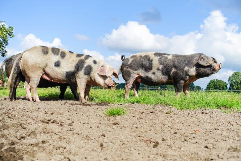Schweinerassen - Bentheimer Landschwein