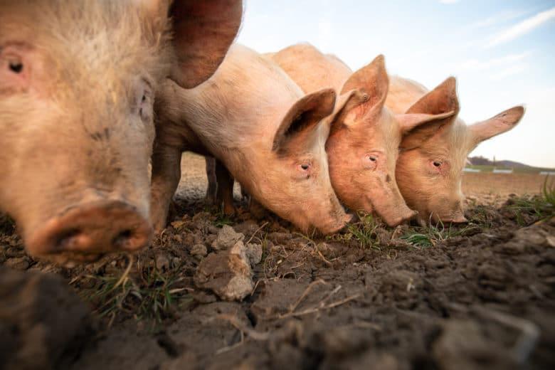 Schweinerassen - Deutsche Landrasse