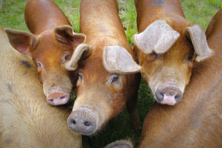 Schweinerassen - Duroc Schwein