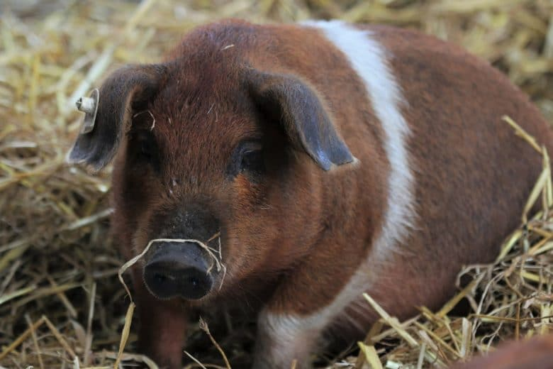 Schweinerassen - Rotbunte Husumer Schwein