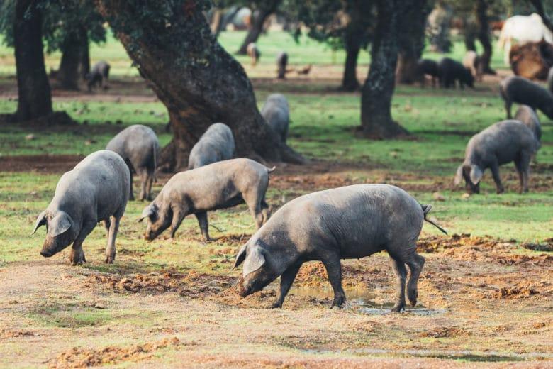 Schweinerassen - Iberico Schwein