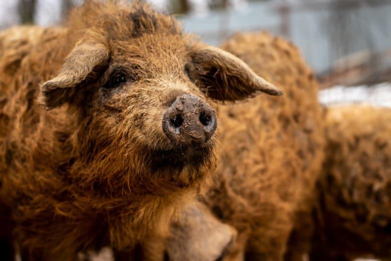 Schweinerassen - Mangalitza Schwein