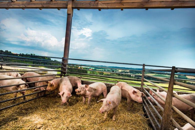 Ötscherblick Schwein Höllerschmid