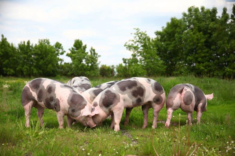 Schweinerassen - Das Pietrain Schwein