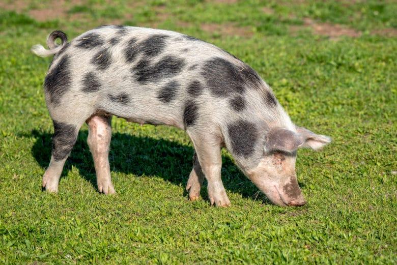 Schweinerassen - Turopolje Schwein
