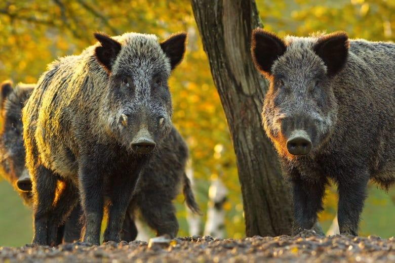 Schweinerassen - auch das Wildschein darf hier nicht fehlen